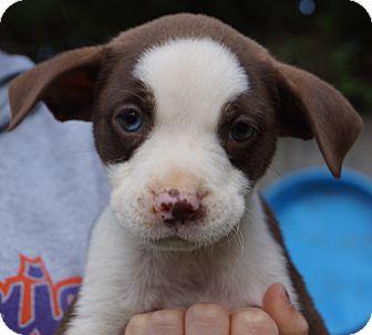 Cocker Spaniel/Labrador Retriever Mix Puppy for adoption in Newark, Delaware - Jillian