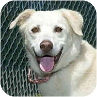 Labrador Retriever Mix Dog for adoption in San Clemente, California - FRANCESCA = Housetrained++Cats