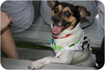Jack Russell Terrier/Pug Mix Dog for adoption in Kingwood, Texas - Levi