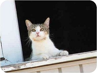 Domestic Shorthair Cat for adoption in Maxwelton, West Virginia - Lily