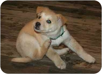 Labrador Retriever/Golden Retriever Mix Puppy for adoption in Berea, Ohio - Scooby