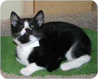 Domestic Shorthair Kitten for adoption in Irvine, California - Princess Oreo