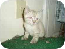 Siamese Kitten for adoption in Arlington, Virginia - Siamese Kittens