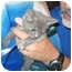 Photo 2 - Russian Blue Kitten for adoption in Tracy, California - Barbara