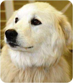 Great Pyrenees Dog for adoption in Oswego, Illinois - I'M ADOPTED Isis Asselin