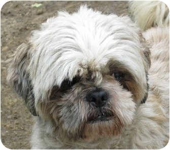 Shih Tzu Dog for adoption in Jacksonville, Florida - Oscar
