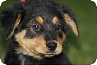 Rottweiler Mix Puppy for adoption in Broomfield, Colorado - Dino