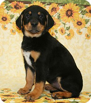 Rottweiler/Labrador Retriever Mix Puppy for adoption in Westminster, Colorado - Lilac
