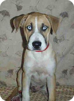 Boxer/Labrador Retriever Mix Puppy for adoption in Long Beach, California - Fiona