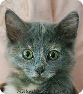 Maine Coon Kitten for adoption in Davis, California - Girlzilla