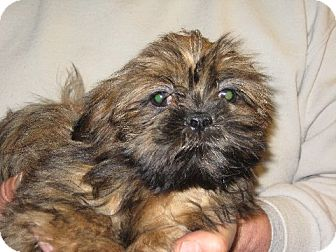 Shih Tzu Puppy for adoption in Salem, New Hampshire - Ginny Weasley