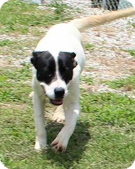 Labrador Retriever/Border Collie Mix Puppy for adoption in Harrisonburg, Virginia - Molly (Urgent)
