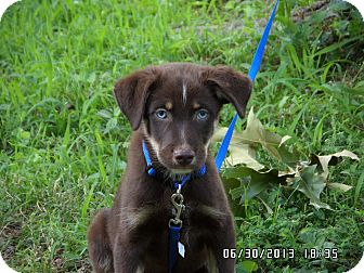 Australian Shepherd Mix Puppy for adoption in Bedminster, New Jersey - Sabo