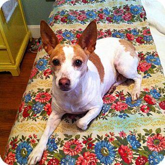 Rat Terrier Dog for adoption in Winston-Salem, North Carolina - Jayde