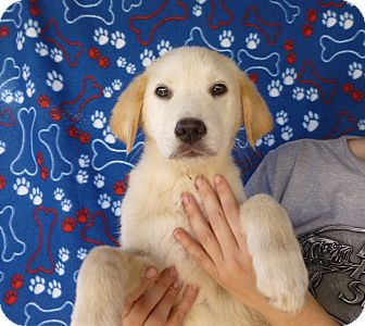 Great Pyrenees/Golden Retriever Mix Puppy for adoption in Oviedo, Florida - Charmin