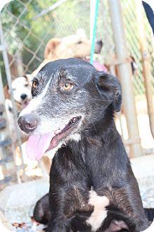 Schnauzer (Standard) Mix Dog for adoption in Minneapolis, Minnesota - Bella