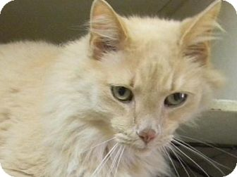 Domestic Longhair Cat for adoption in Tyner, North Carolina - Daxter