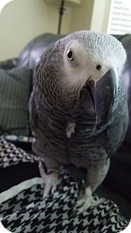 African Grey for adoption in Redlands, California - Jake