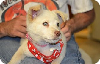 Husky Mix Puppy for adoption in Parkville, Missouri - Lena