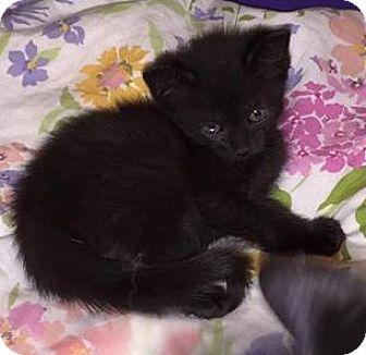 Domestic Shorthair Kitten for adoption in Putnam, Connecticut - Minnie