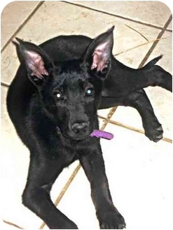 Cattle Dog/German Shepherd Dog Mix Puppy for adoption in Buffalo, New York - Kira