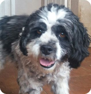 Shih Tzu Mix Dog for adoption in Los Angeles, California - Sparky
