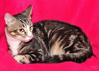 Domestic Shorthair Cat for adoption in Garland, Texas - Buddy