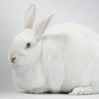Adopt A Pet :: Beautiful - Los Angeles, CA