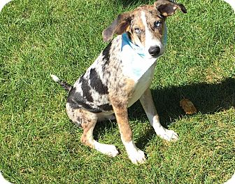 Catahoula Leopard Dog Mix Puppy for adoption in DeForest, Wisconsin - Jacson