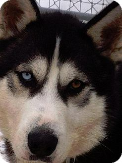 Siberian Husky Mix Dog for adoption in Shingleton, Michigan - Fulton - Special Needs