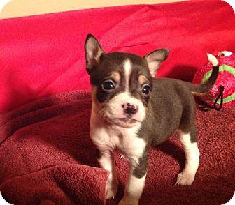 Boston Terrier Mix Puppy for adoption in Texarkana, Texas - Ben in Texarkana Texas