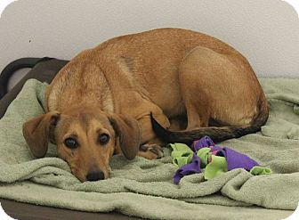 Beagle/Hound (Unknown Type) Mix Dog for adoption in Nixa, Missouri - Beasley #936X