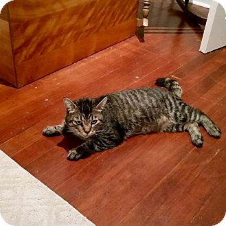 Domestic Shorthair Cat for adoption in Duncan, British Columbia - Muffin-(aka Fin to her friends