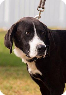 Great Dane/Labrador Retriever Mix Dog for adoption in Wharton, Texas - Bacak Pup1>Bubba