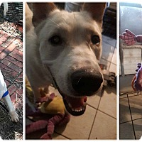 Adopt A Pet :: LOKI - Rootstown, OH