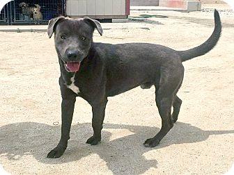 Labrador Retriever Mix Dog for adoption in Marina del Rey, California - Diego