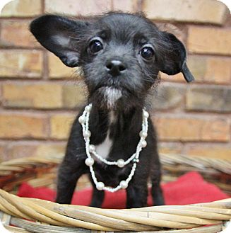Chihuahua/Terrier (Unknown Type, Small) Mix Puppy for adoption in Benbrook, Texas - Stella