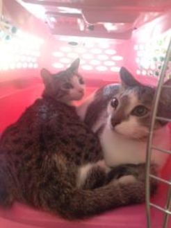 Domestic Shorthair/Domestic Shorthair Mix Cat for adoption in St. Thomas, Virgin Islands - Aphrodite