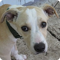 Adopt A Pet :: Fawn!  Laid Back - St Petersburg, FL