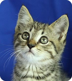 Domestic Shorthair Kitten for adoption in Winston-Salem, North Carolina - Rocky Balboa