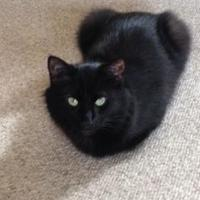 Domestic Mediumhair/Domestic Shorthair Mix Cat for adoption in Brownsburg, Indiana - Molly