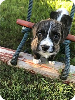 Terrier (Unknown Type, Small) Mix Puppy for adoption in New York, New York - Romeo