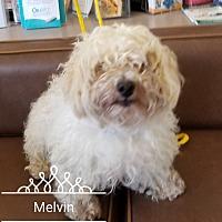 Adopt A Pet :: Melvin - Las Vegas, NV