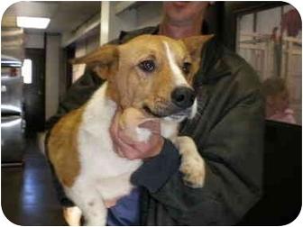 Corgi Mix Dog for adoption in Manassas, Virginia - Todd