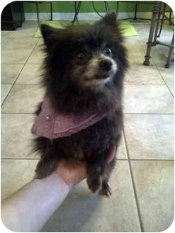 Pomeranian Dog for adoption in mishawaka, Indiana - Mini