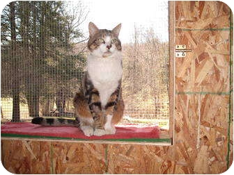 Domestic Shorthair Cat for adoption in Morris, Pennsylvania - Louie the lap cat