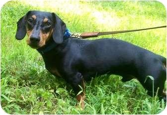 Dachshund Dog for adoption in Oak Ridge, New Jersey - Sammy