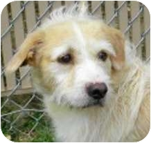 Wirehaired Fox Terrier/Cairn Terrier Mix Dog for adoption in Lincolnton, North Carolina - Otis