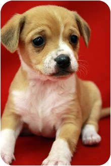 Rat Terrier/Terrier (Unknown Type, Small) Mix Puppy for adoption in Broomfield, Colorado - Schnapps