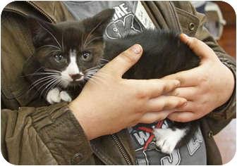 Domestic Shorthair Kitten for adoption in Tillamook, Oregon - Dot
